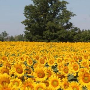 davis-sunflowers-04