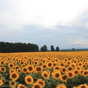 davis-sunflowers-08