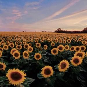 davis-sunflowers-13