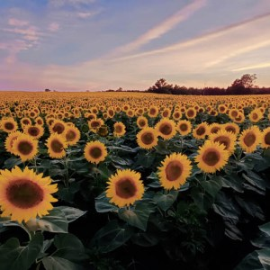 davis-sunflowers-14