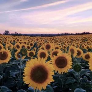 davis-sunflowers-15