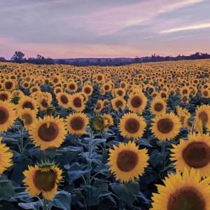 davis-sunflowers-17