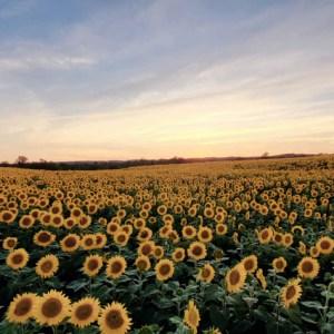 davis-sunflowers-21