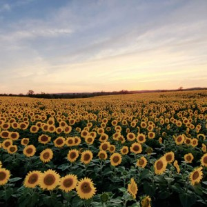 davis-sunflowers-22