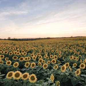 davis-sunflowers-23