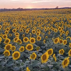 davis-sunflowers-26