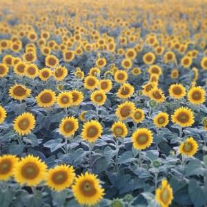 davis-sunflowers-27