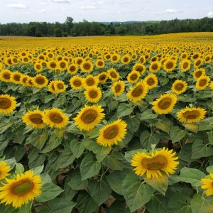 davis-sunflowers-32