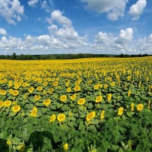 davis-sunflowers-41