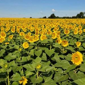 davis-sunflowers-46