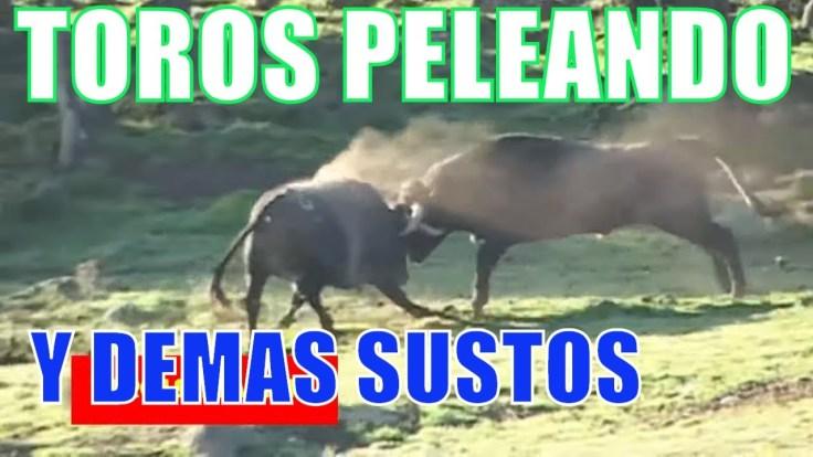 Toros peleando defienden su terreno