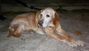 Perra mayor encontrada en Torrelodones el 21 de noviembre de 2012