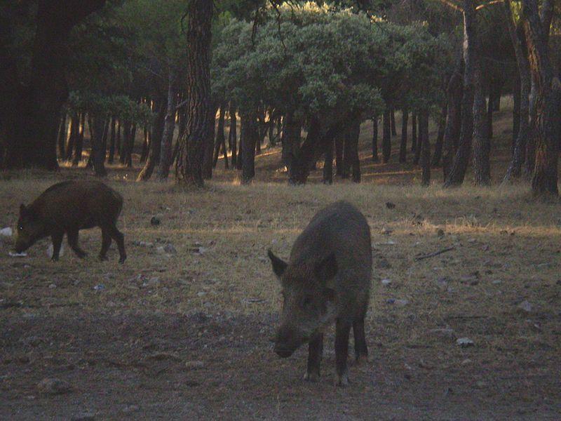 Jabalíes en Torrelodones (Foto: Protección Civil de Torrelodones)
