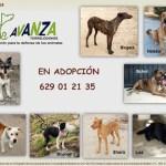 Adopción de Perros en Avanza Torrelodones, septiembre 2015