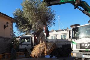 trasplante-olivo-plaza-torrelodones3