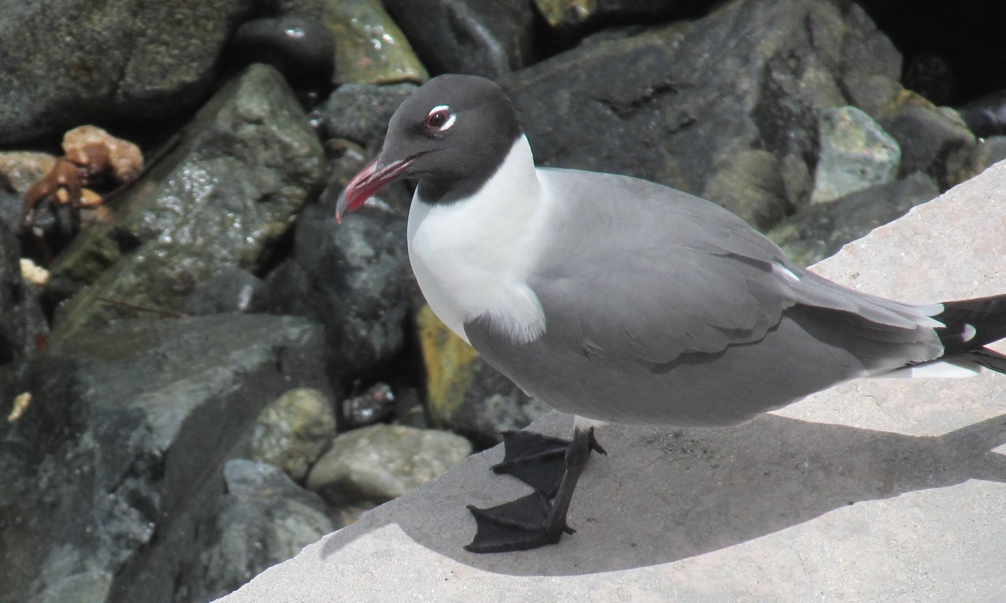 Seagull Tortola