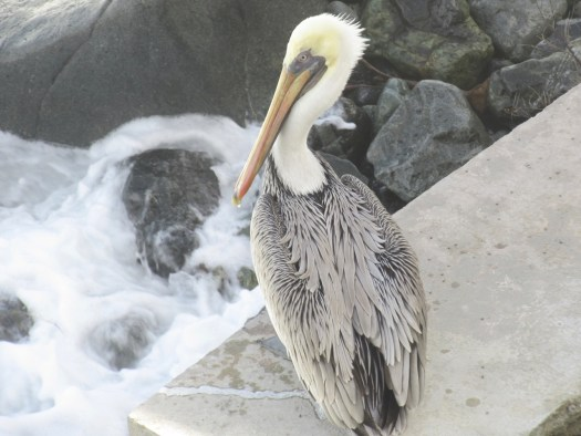 Tortola Pelican