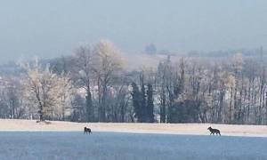 La foto coi lupi a Villaromagnano è diventata virale