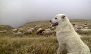 La Regione Piemonte finanzia l'acquisto di cani da guardiania per le aziende agricole