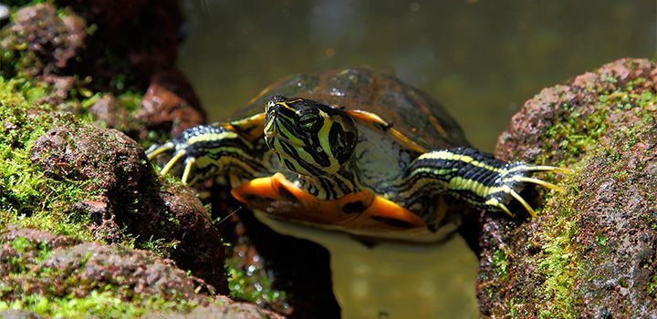 Tortugas Domesticas Acuaticas