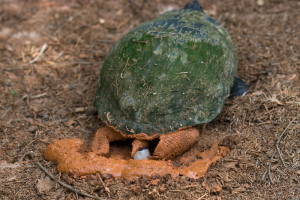 Red_Eared_Slider_laying_egg