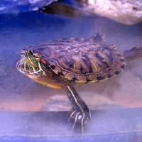 enfermedades de las tortugas de agua