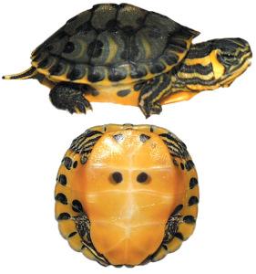 tortuga orejas amarillas