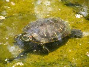 tortuga resultado estanque