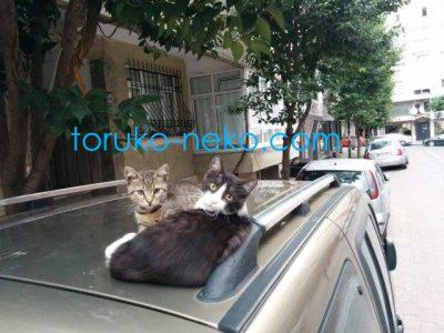 cat トルコ イスタンブール 猫歩き 二匹の猫が車の上でこっちを向いている写真 かわいいネコの画像