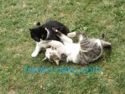 cat トルコ イスタンブール 猫歩き 子猫の写真 画像 取っ組み合い けんか じゃれあい 降参