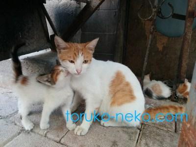 mom cat トルコ イスタンブール 猫歩き 母親猫に子供のネコが甘えている写真 かわいいねこの画像