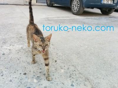 Adana Mersin アダナ メルスィンの茶色い猫がこっちに来る画像