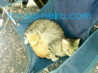 トルコイスタンブールで、こげ茶色の猫が、クリーム色の子猫を大事に抱えて 簡易イスの上で寝ている画像