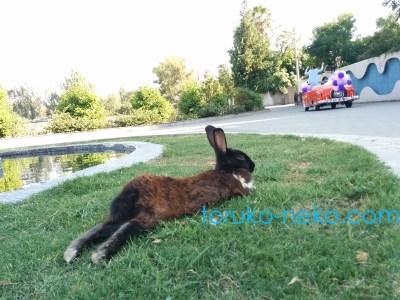 rabbit トルコ アダナで黒いウサギが後ろ足をダラーンと伸ばしている写真 猫 兎 芝生 車 猫歩き