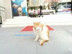 トルコ イスタンブールで白色と茶色の猫がテヘッっていう照れ笑いをしている感じの顔をして、手を舐めている画像 写真