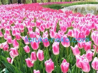 エミルガンパーク Emirgan Parkı ピンク色と白色のチューリップがたくさん並んでいる写真 画像 オススメ 綺麗なチューリップ園