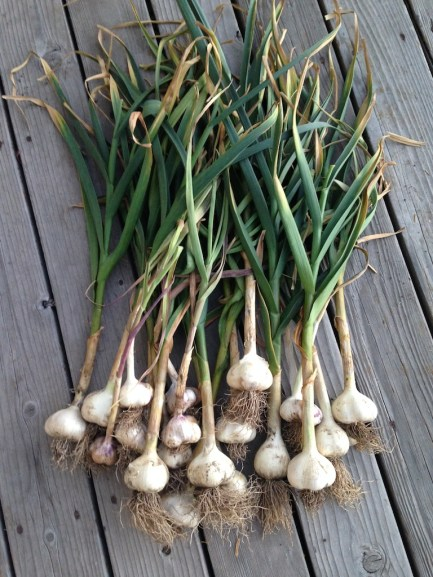You can never grow too much garlic.