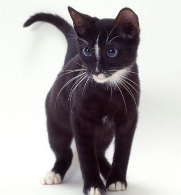 Wie Heißt Die Rasse Der Blauen Katzen Mit Blauen Augen