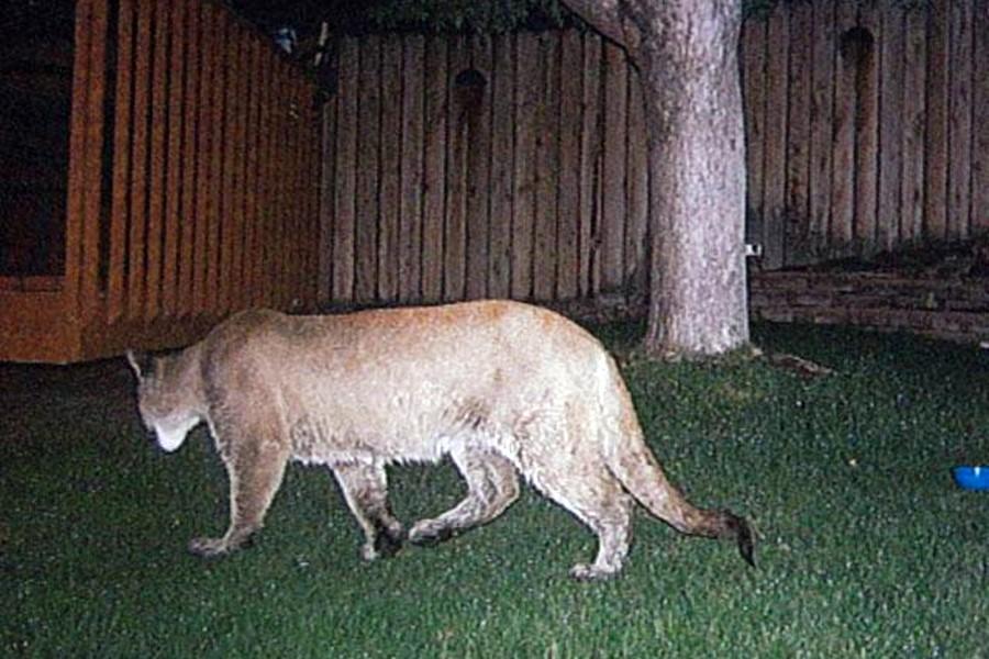 mountain lion backyard