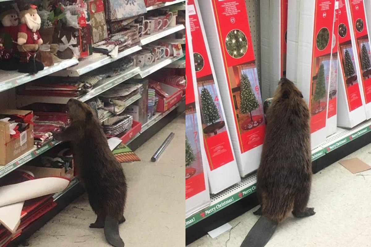 Beaver on the loose inside store - Source: Twitter/St. Mary's Sheriff