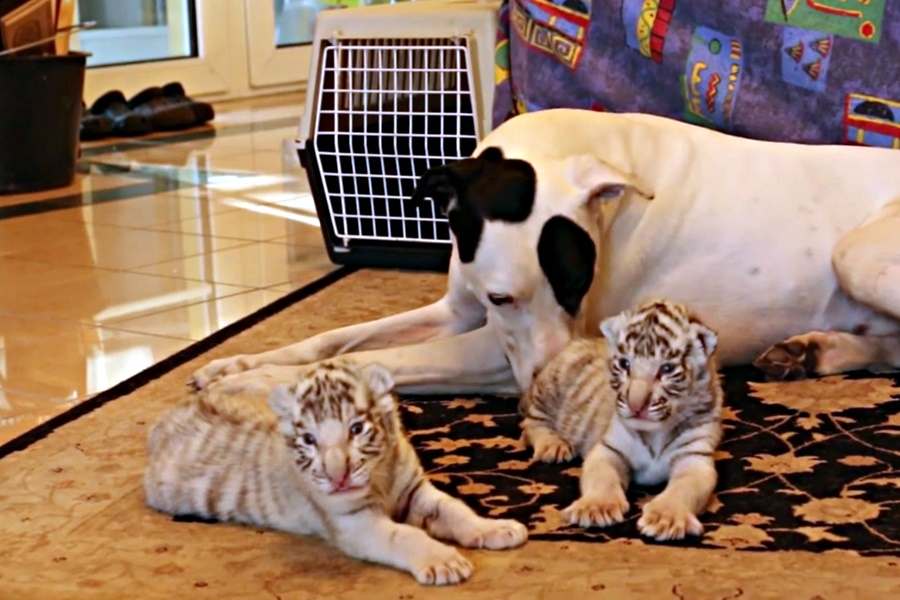 dog tiger cubs