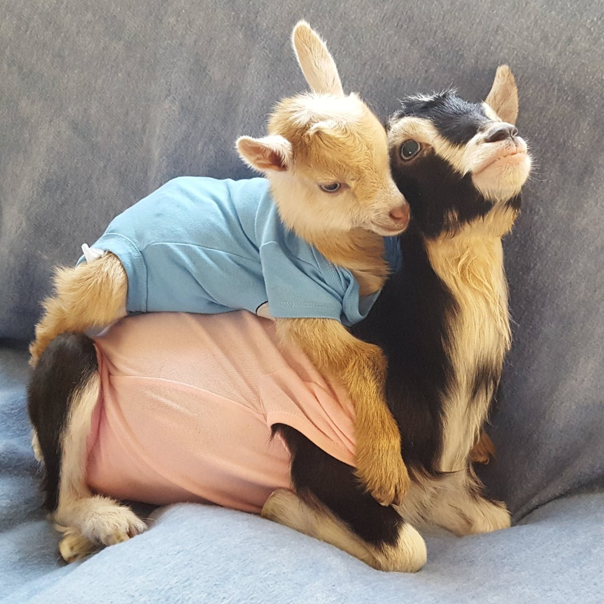 Pocket Resting on Polly - Source: Twitter/Goats of Anarchy