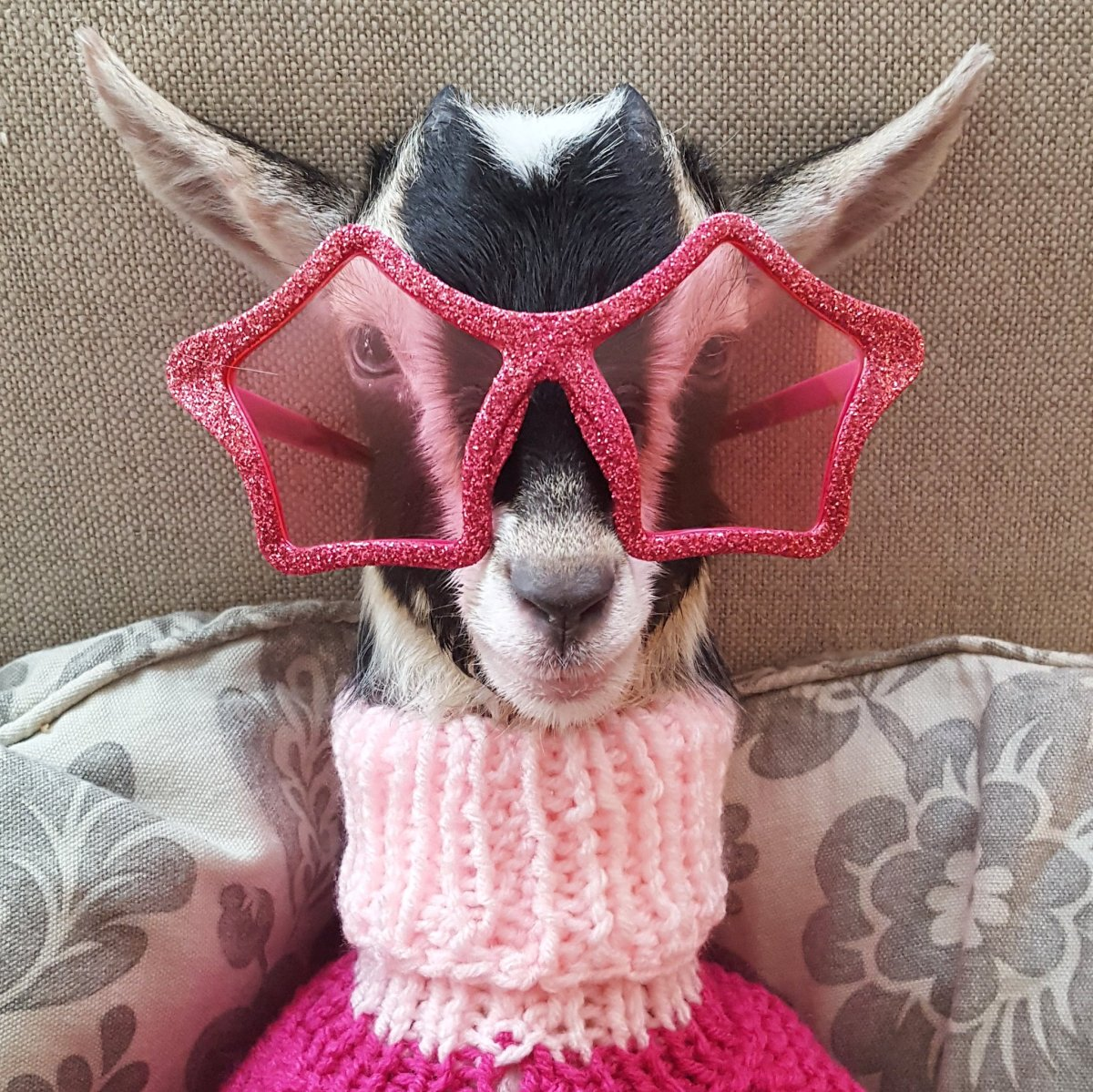 Polly Appears More Comfortable Dressed Up - Source: Twitter/Goats of Anarchy