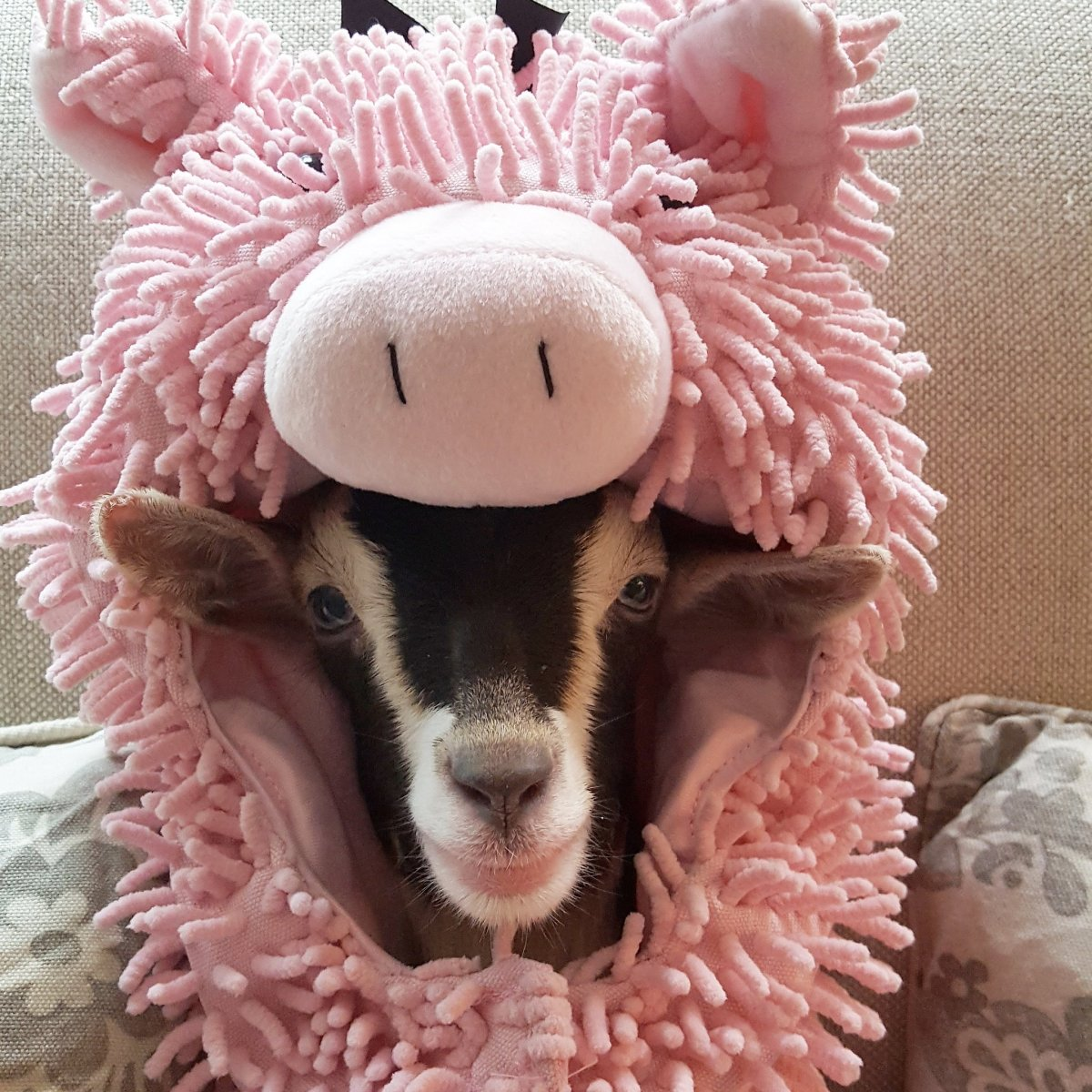 Polly as a Pig - Source: Twitter/Goats of Anarchy