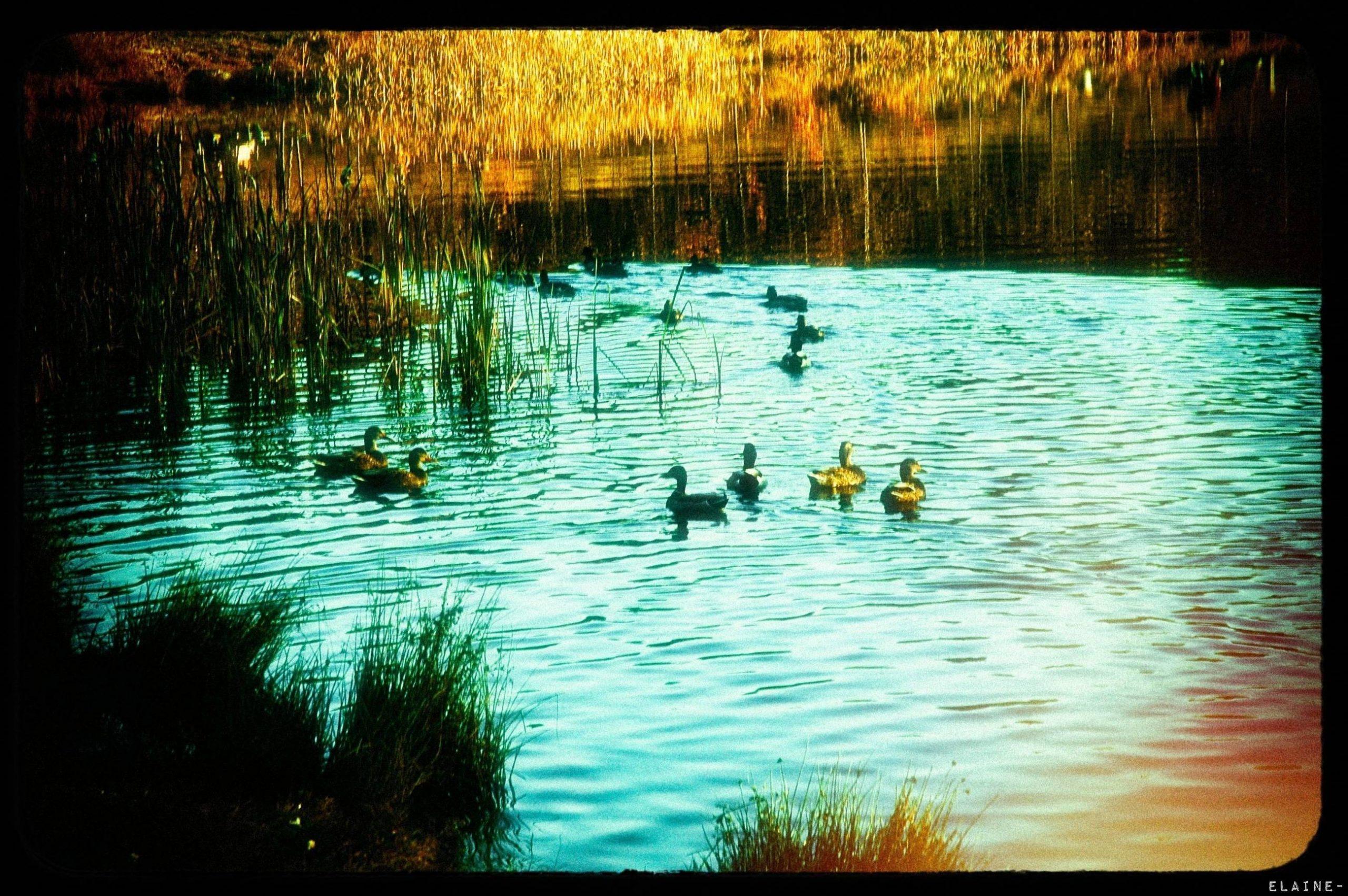 Durned Ducks