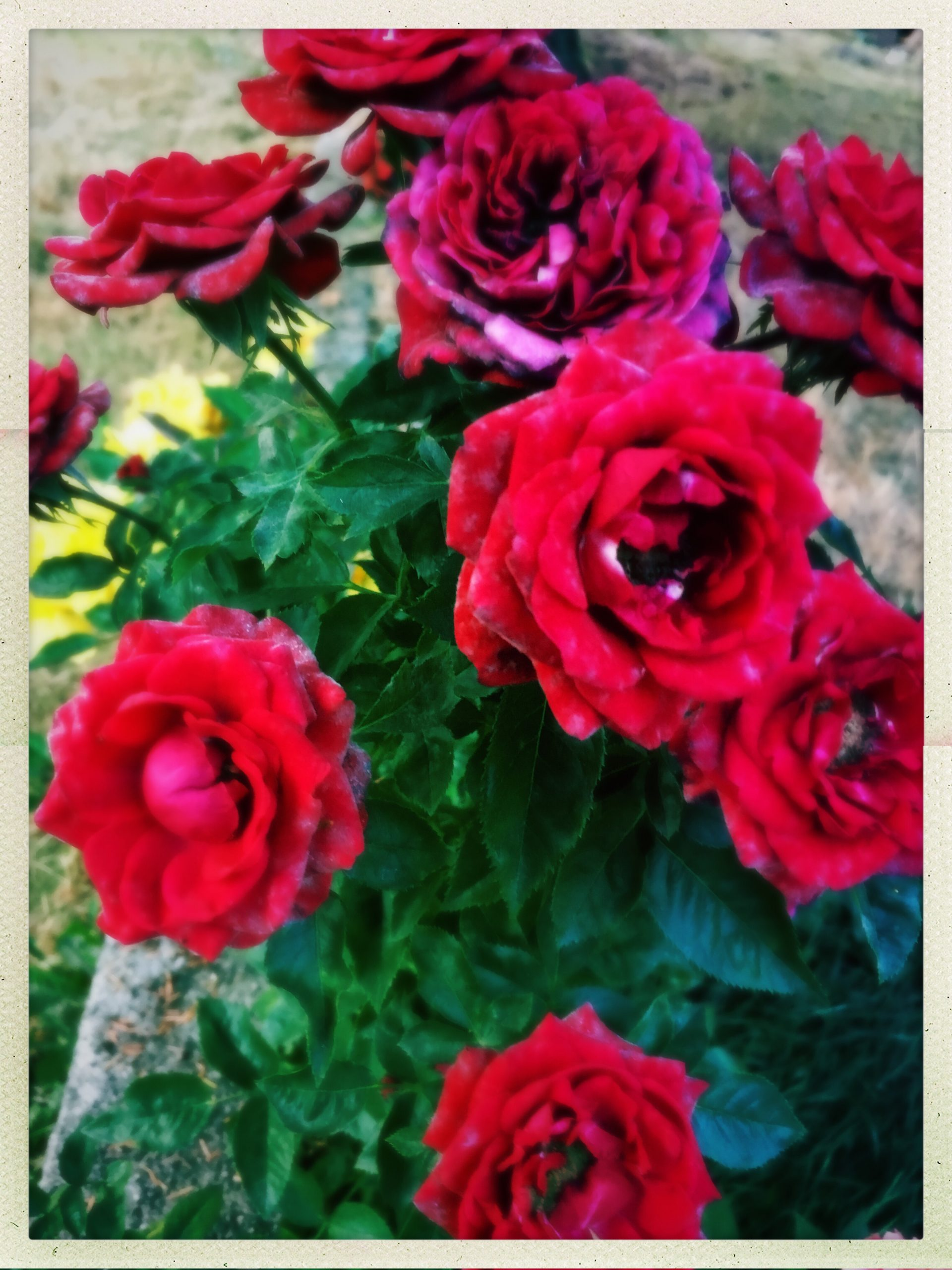 Roses Supposes