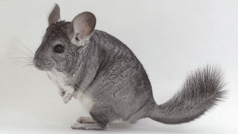 baby chinchilla pet