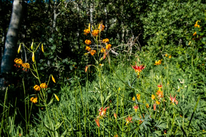Columbine mingles with the Tiger Lilies.