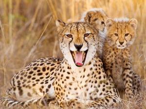 guepardo animal de poder significado
