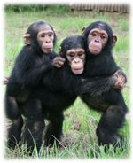 Chimpancés en peligro. Evitémoslo